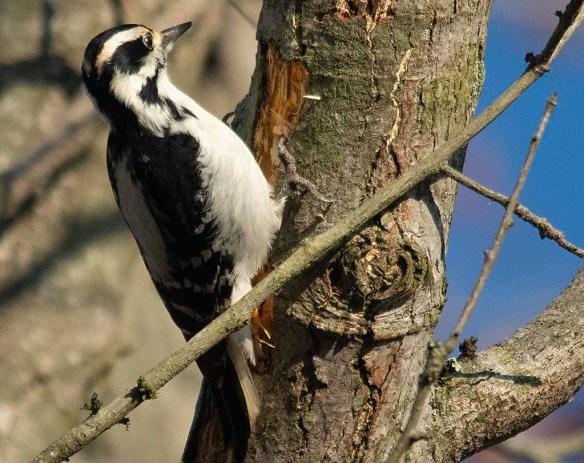 Hairy Woodpecker 2018-2