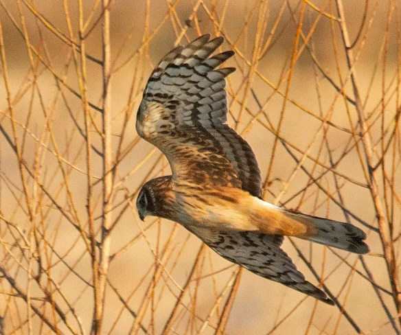 Northern Harrier 2018-9