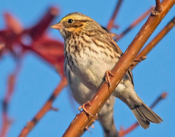 Savannah Sparrow 2018-5