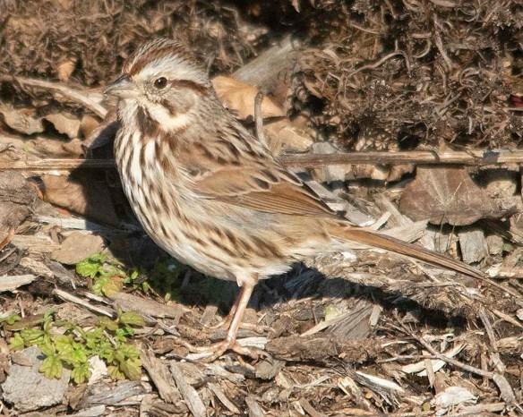 Song Sparrow 2018-25