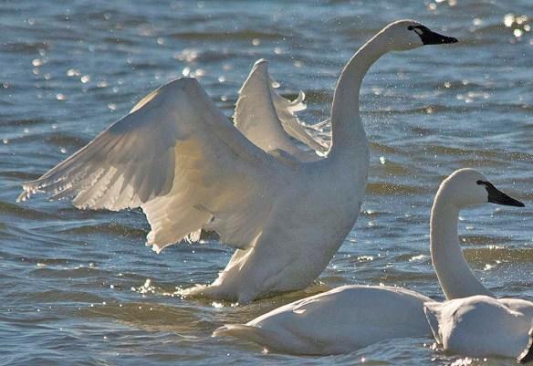Tundra Swan 2018-24
