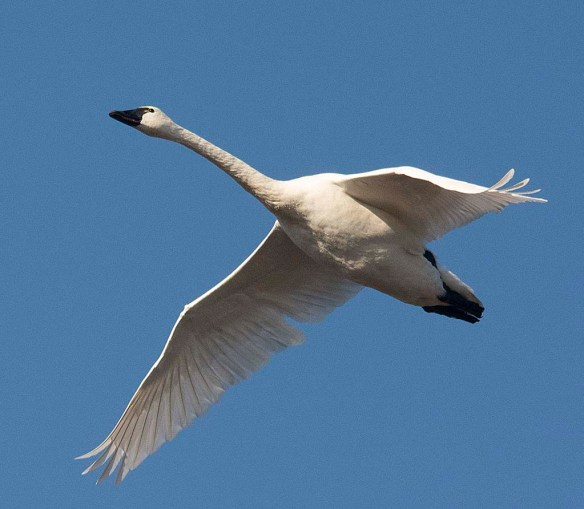 Tundra Swan 2018-28