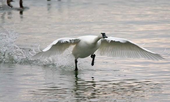 Tundra Swan 2018-29