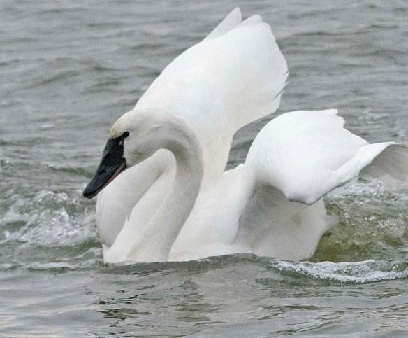 Tundra Swan 2018-31
