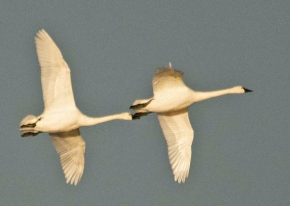 Tundra Swan 2018-34