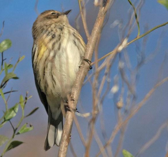 Yellow Rumped Warbler 2018-8