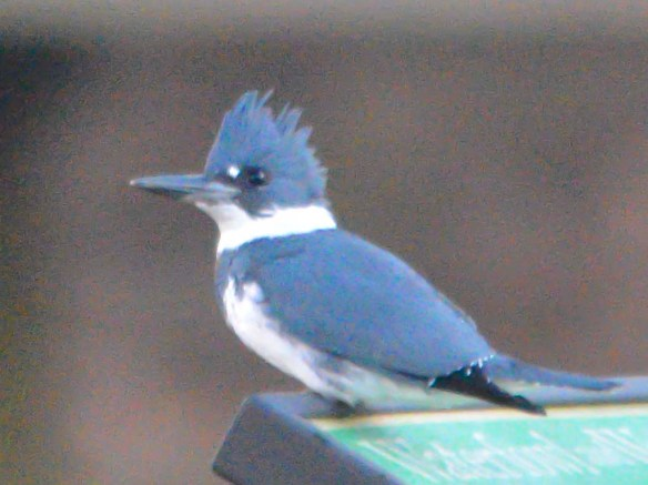 Belted Kingfisher 14