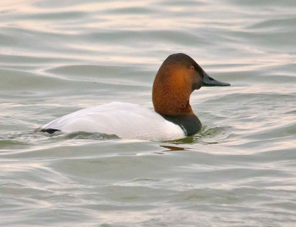 Canvasback 2018-39