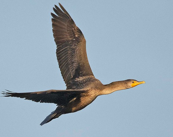 Double Crested Cormorant 2018-24