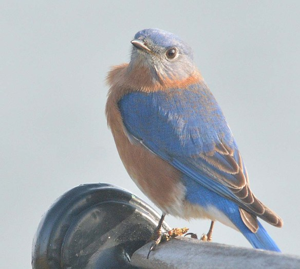 Eastern Bluebird 2018-16
