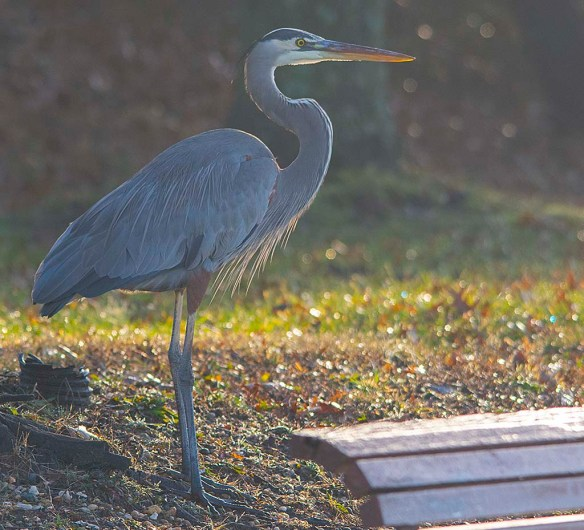 Great Blue Heron 2018-100