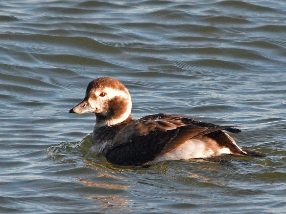 Long Tailed Duck 2018-22