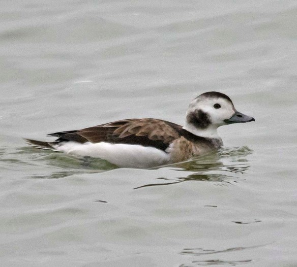 Long Tailed Duck 2018-27
