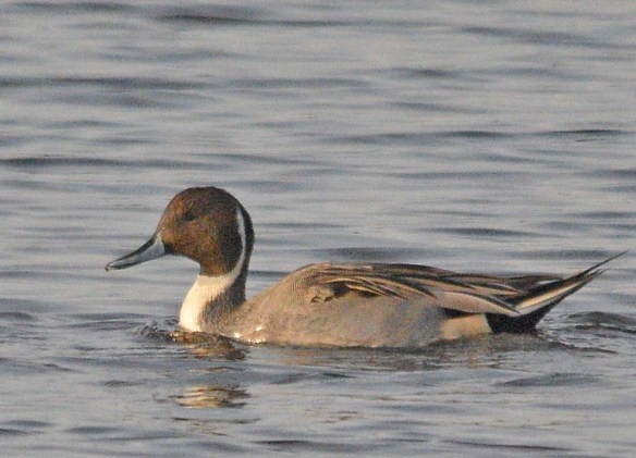 Northern Pintail 2018-25