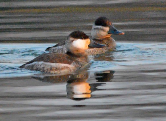 Ruddy Duck 2018-19