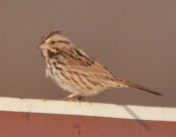 Song Sparrow 2018-26