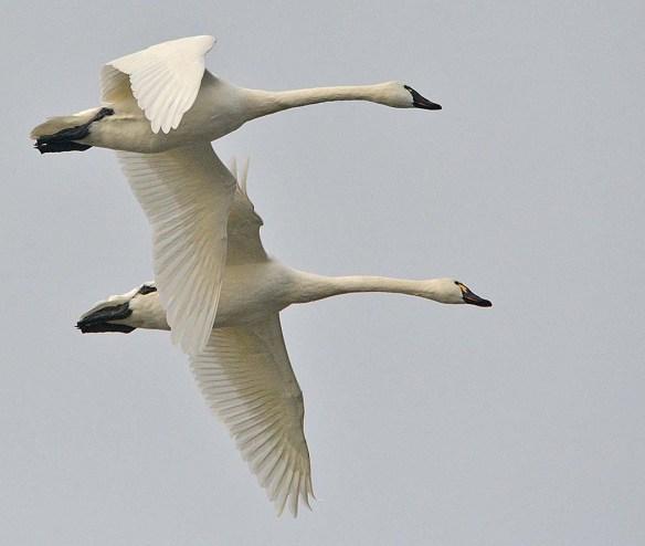 Tundra Swan 2018-36