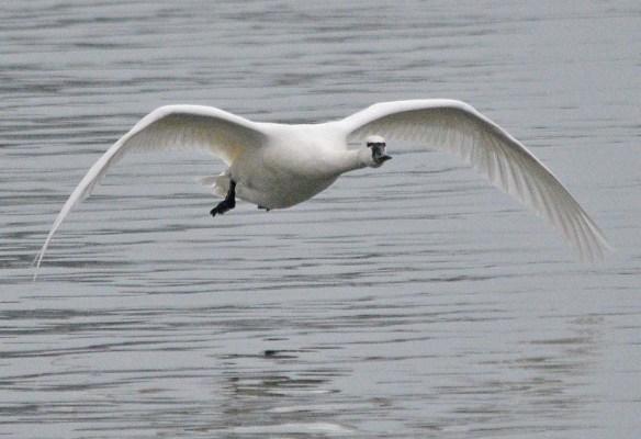 Tundra Swan 2018-39