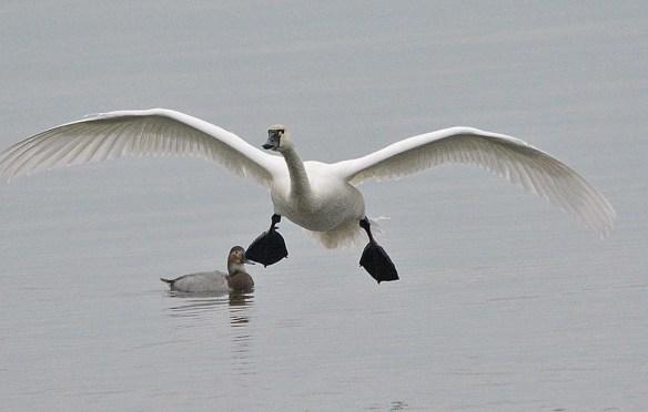 Tundra Swan 2018-41