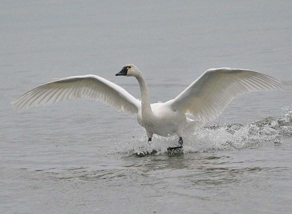 Tundra Swan 2018-42