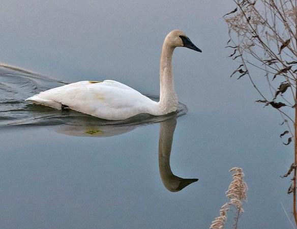 Tundra Swan 2018-51