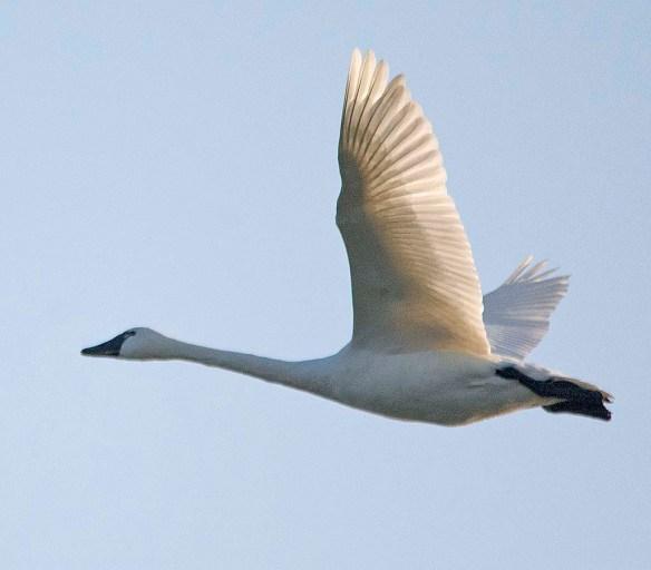 Tundra Swan 2018-52