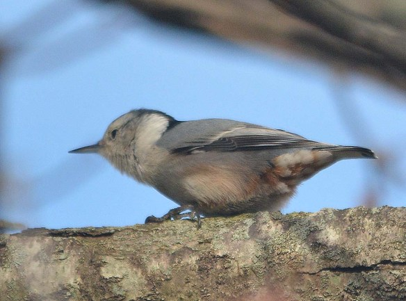 White Breasted Nuthatch 2018-2