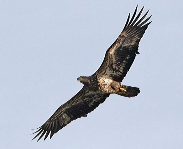 Bald Eagle 2019-7