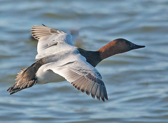 Canvasback 2019-11