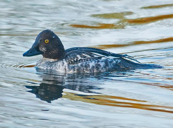 Common Goldeneye 2019-3