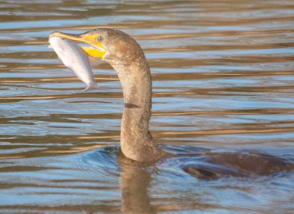 Double Crested Cormorant 2019-4
