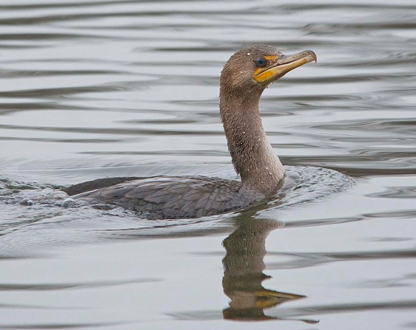 Double Crested Cormorant 2019-8