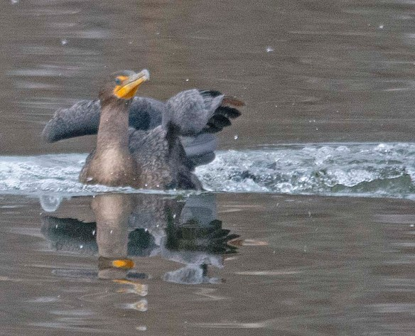 Double Crested Cormorant 2019-9