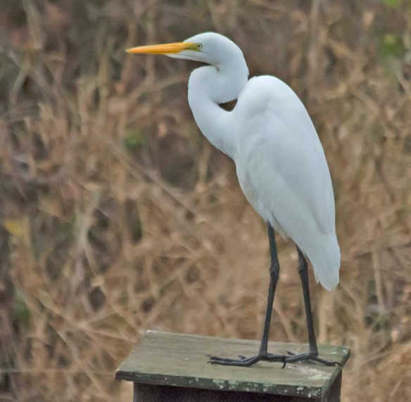 Great Egret 2019-3