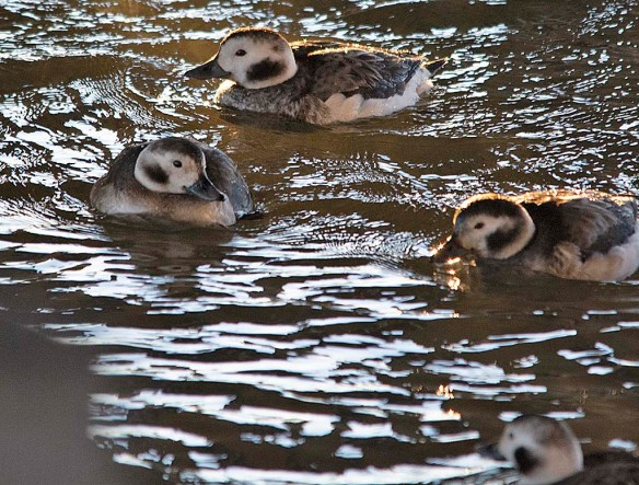 Long Tailed Duck 2019-10