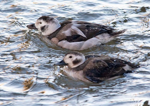 Long Tailed Duck 2019-11