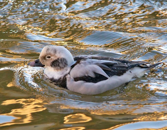 Long Tailed Duck 2019-12