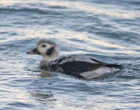 Long Tailed Duck 2019-17