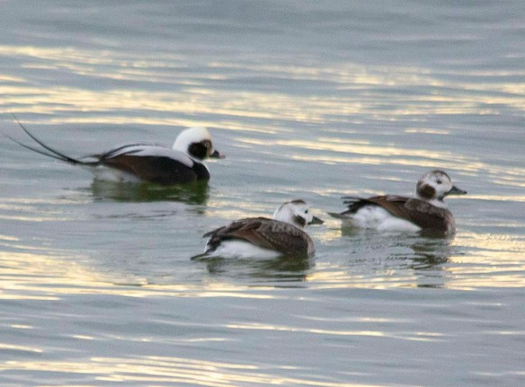 Long Tailed Duck 2019-2