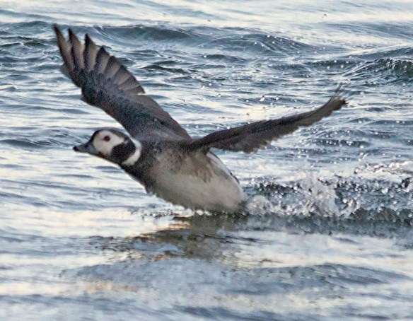Long Tailed Duck 2019-20