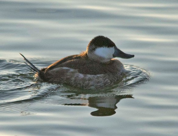 Ruddy Duck 2019-3