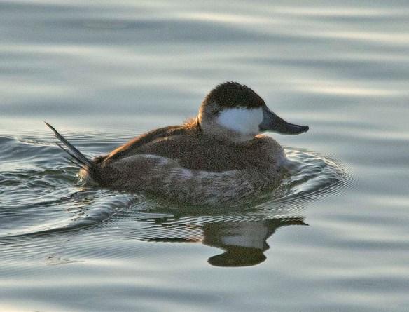 Ruddy Duck 2019-3