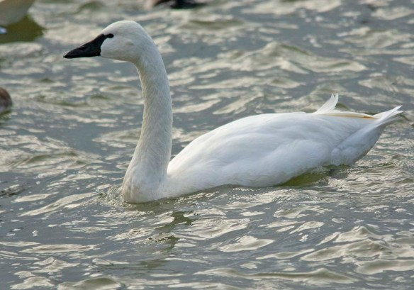 Tundra Swan 2019-1