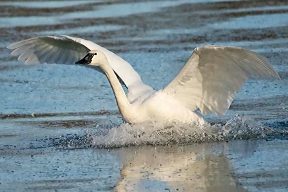 Tundra Swan 2019-19