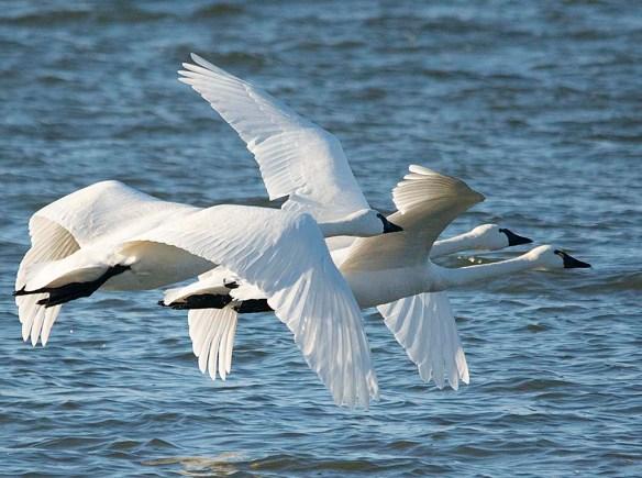 Tundra Swan 2019-5