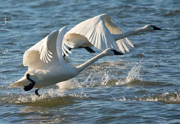 Tundra Swan 2019-6