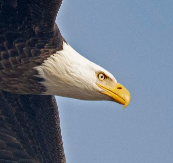 Bald Eagle 2019-9