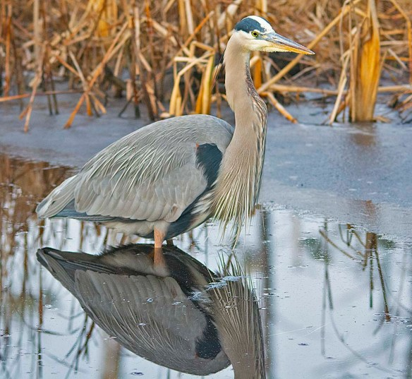 Great Blue Heron 2019-11