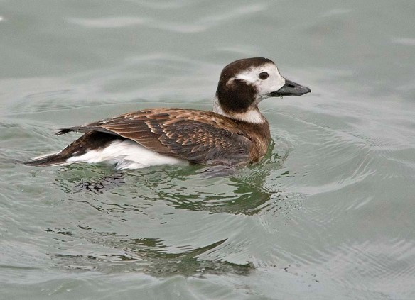 Long Tailed Duck 2019-38