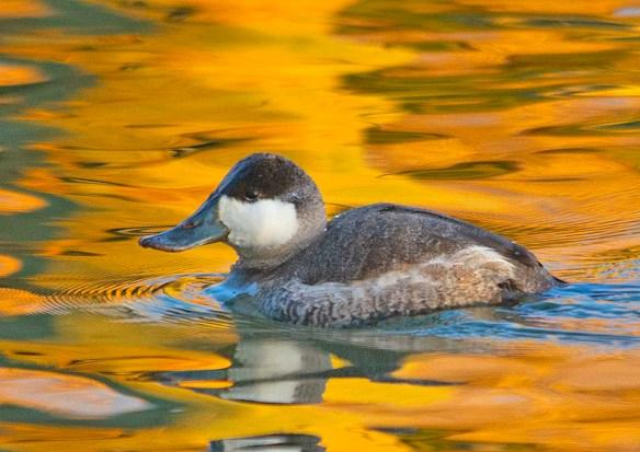 Ruddy Duck 2019-8